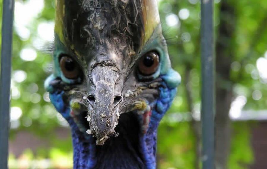 L'oiseau le plus dangereux du monde le casoar a tué un homme de Floride