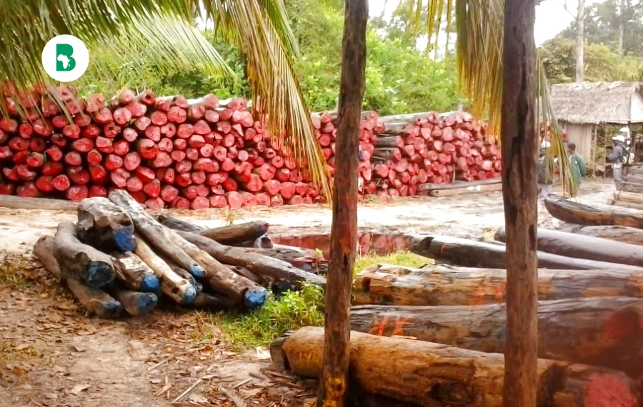 Comment l'abattage illégal de bois de rose vole le Ghana de plusieurs façons